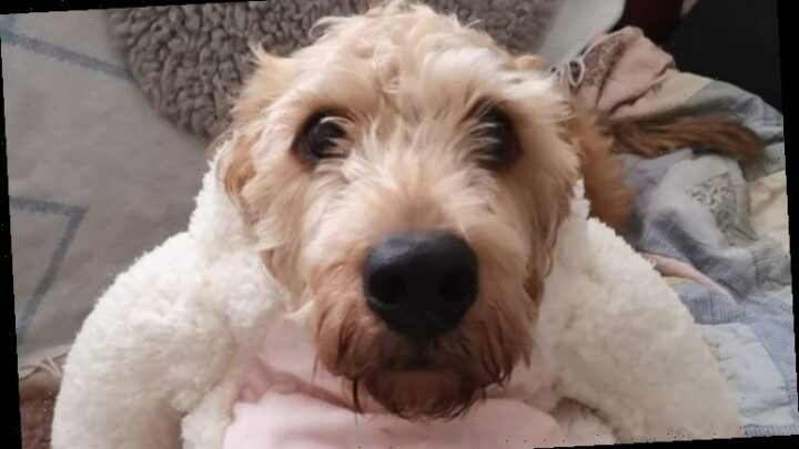 Easter dog outfits put to test – B&M offering £6 lamb, chick and rabbit coats