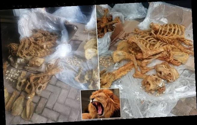 Skeletal remains of 27 lions found in raid by South African police