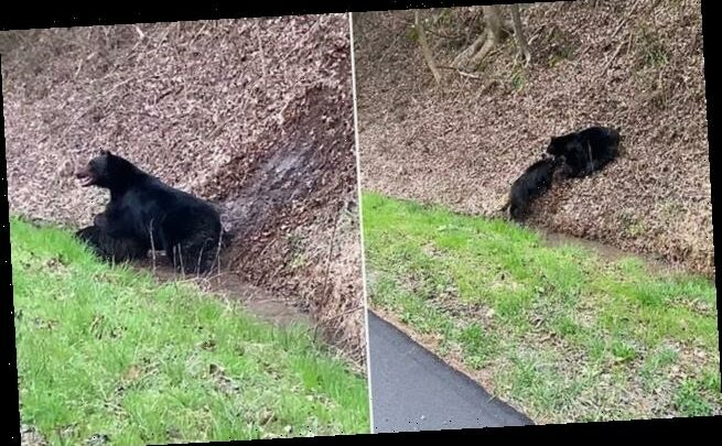 Black bear takes downsquealing hog by its neck
