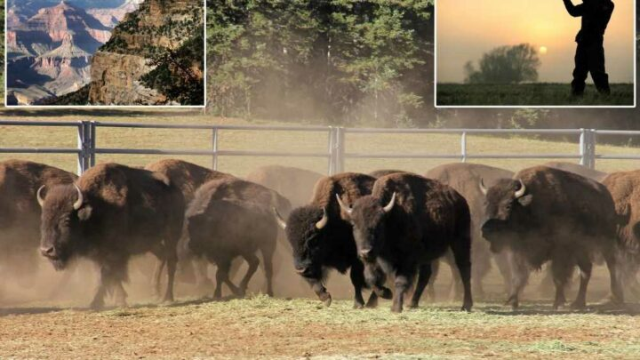 45,000 hunters apply to kill 12  bison in Grand Canyon National Park