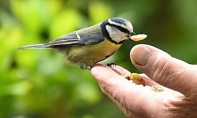 Blue tits are threatening other species, scientists warn