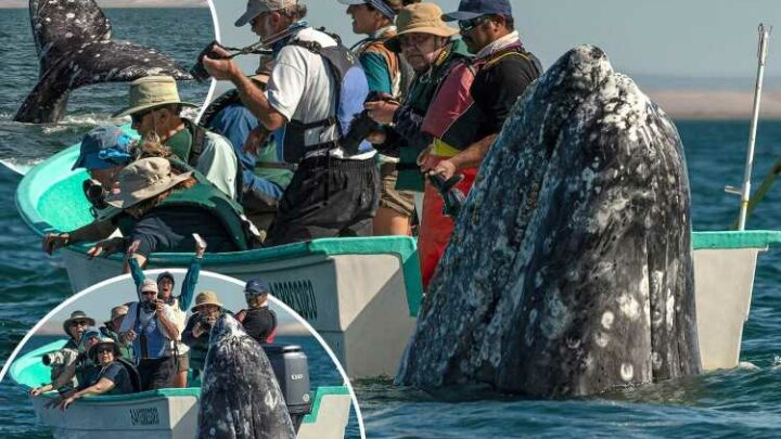 Whale watchers look opposite way as monster mammal looms a foot behind tiny boat