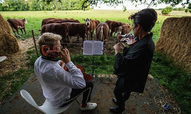 Cows love my classical moo-sic! British cellist plays for Danish cows