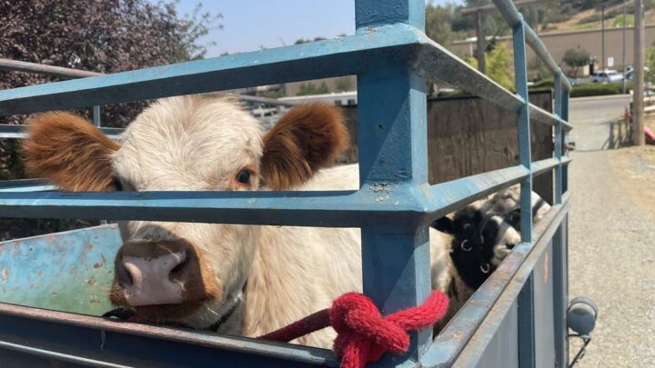 Caldor Fire prompts hundreds of animal rescues in California