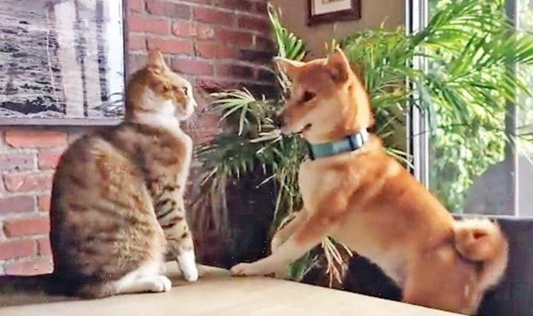 Dog knocked off chair by cat becomes viral hit with 350,000 views