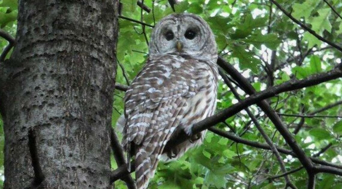 """NYC's beloved owl """"Barry"""" dies after being struck by Central Park maintenance vehicle"""