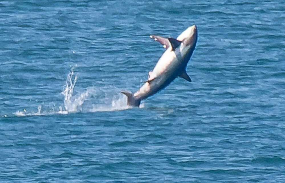 Shocking moment a SHARK leaps out of the sea in front of stunned photographer off Welsh coast