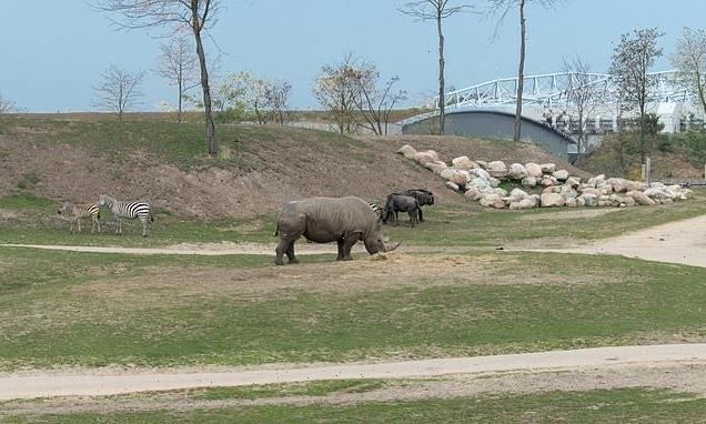 Female rhino drowns after slipping into a watering hole at Dutch zoo